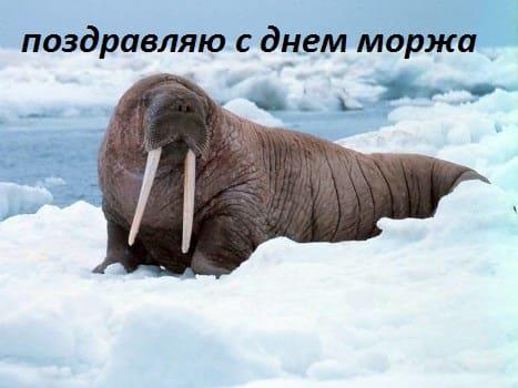 день моржа нарьян-мар