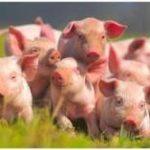картинки со свинками прикольные
